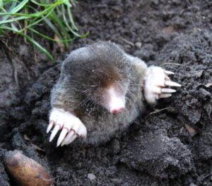 Moles Removal