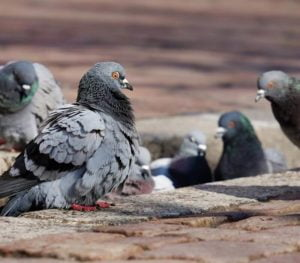 Pigeons Removal