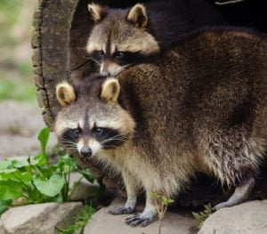 Racoons Removal