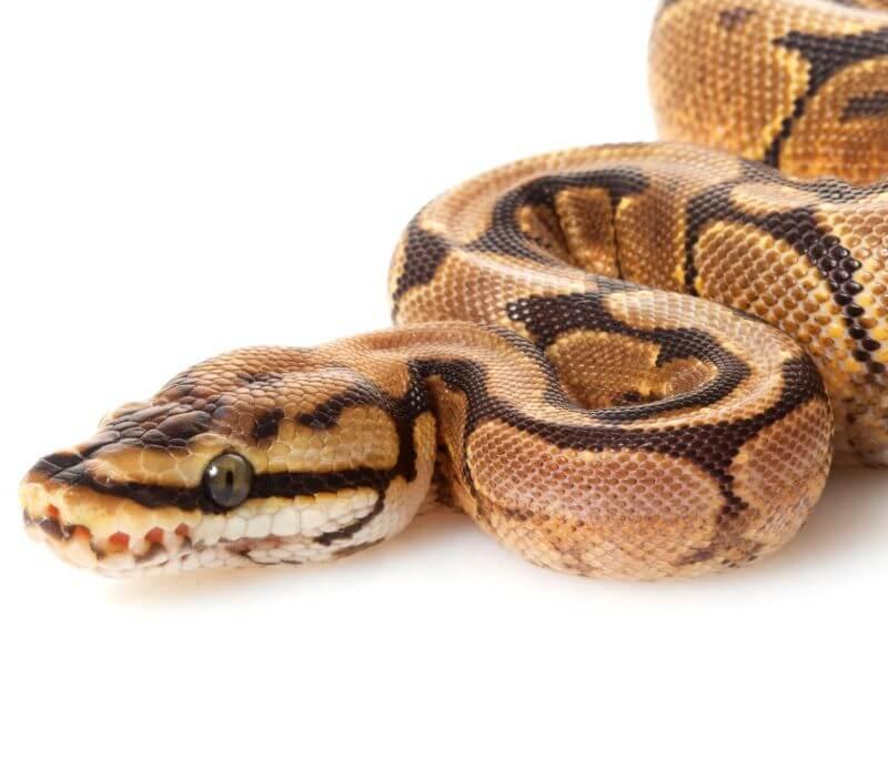 Python Skae Trapping