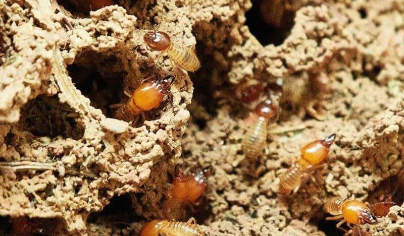 Termite Prevention Coupon